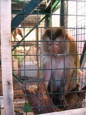 Nikki, our resident Macaque (Aegina): by colleen_finn, Views[802]
