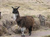 Llama: by colleen_finn, Views[217]