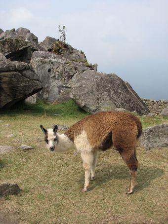 Wild llamas at Machu Picchu