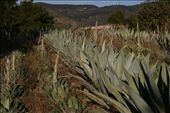 Crops for mezcal and tequila: by connieandjohn, Views[214]