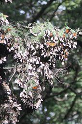 Monarch butterflies waiting for the sun to warm them: by connieandjohn, Views[205]
