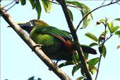 Emerald toucanet, Monteverde: by connieandjohn, Views[409]