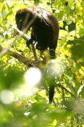 Howler monkey, La Cruz: by connieandjohn, Views[454]