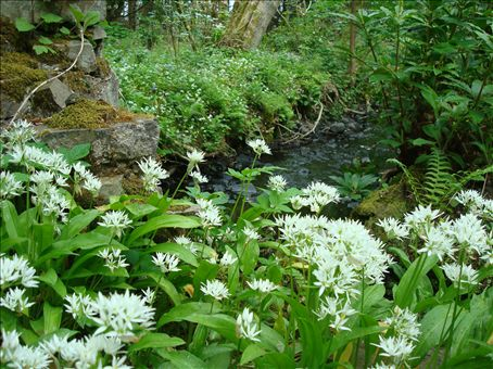 Villi valkosipuli kukkii joka paikassa