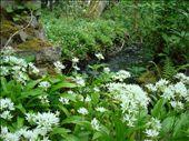 Villi valkosipuli kukkii joka paikassa: by crazyfinns, Views[729]