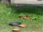 Rainbow lorekeet: by crazyfinns, Views[318]