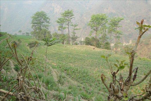 Maissipeltoja vaellusreitin varrella.