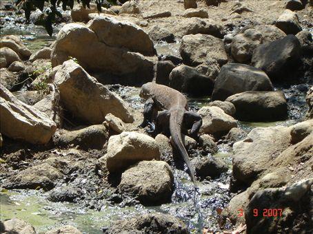 Lisaa komodon varaaneja Rinca-saarella.