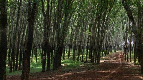 Getting lost in rubber plantations, Ratanakiri, Cambodia.