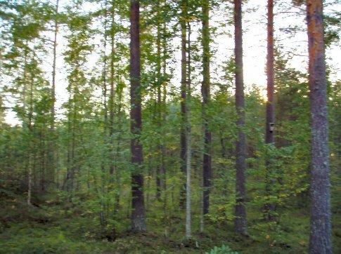 The forest behind Ulla & Arto's house in Saimaanharju, near Lappeenranta
