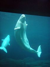 Beluga whales. As you can see, their flubber is all floppy, and it ripples about when they swim: by dan_and_stef, Views[174]