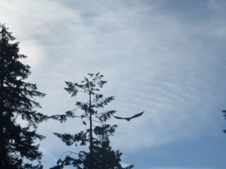 Bald eagle flying by.  There were a couple of them fishing in the river below