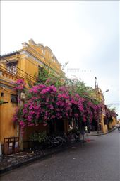 Bougainvillea in Hoi An. We hired a motorbike and went there just in 3-4 hours.: by danang2014, Views[92]