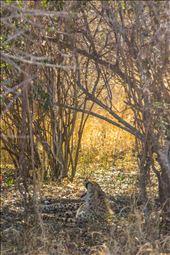 A female cheetah cub yawning.: by dandonovanphoto, Views[120]