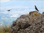 Once we got to the top of the volcano we were treated to Andes Condors soaring around us. We were told this was very rare to see them this close since there are only 108 of them left in Ecuador.. Even better was having the camera ready to take this picture. The guide Jose was very excited and asked for a copy of it immeidately.: by danidawnandstevo, Views[381]