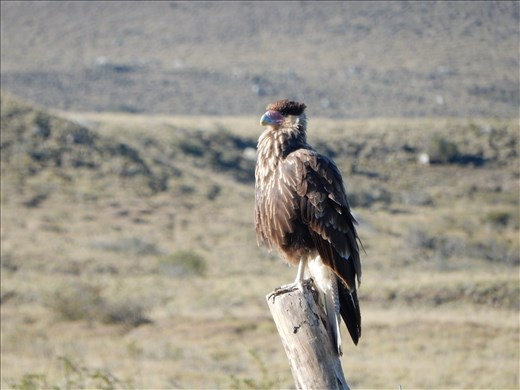 Just a sample of the wildlife here in Patagonia. This is a Crested Cara Cara. He's a scavenger waiting for a car to run a bunny over. Other animals we have see here include a fox, bunnies, eagles, condors and a not so wild bull name Pepi.