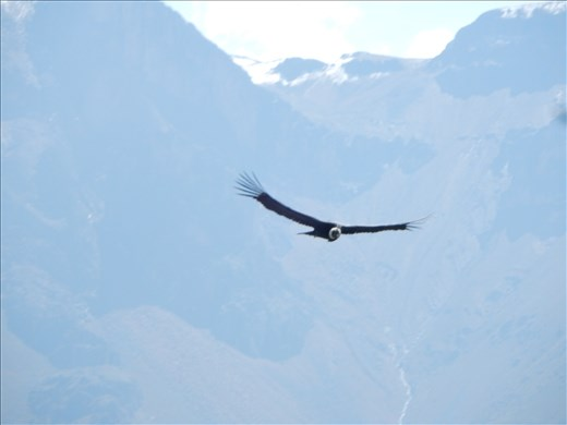 With a wing span up to 9 feet you can hear the wind when they soar over you.