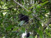 One of the many species of monkeys we saw in the wild. This one with his fumanchu is called the Saki monkey. : by danidawnandstevo, Views[163]