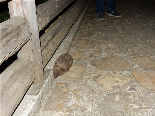 Returning to our hotel we saw a hedgehog in the driveway.