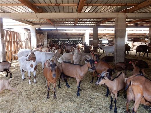 Goat cheese farm employees.