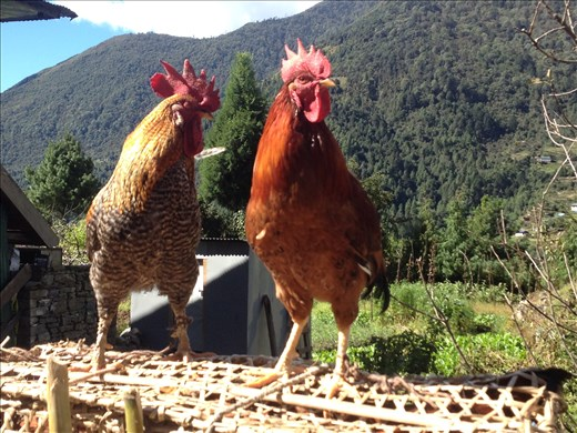 Mighty handsome roosters indeed.