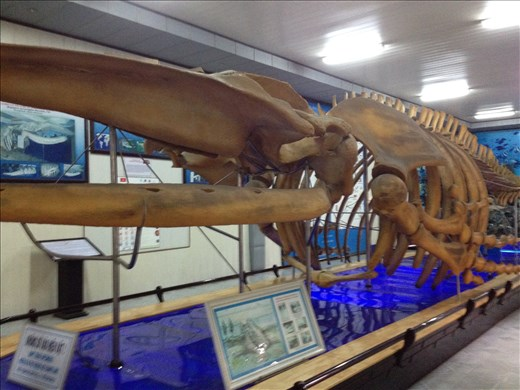 National Oceanographic Museum of Vietnam. Humpback skeleton found in 1994 in a farmers field 4 km from the sea.