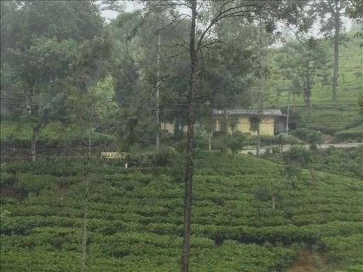 Craigie Lea tea plantations.
