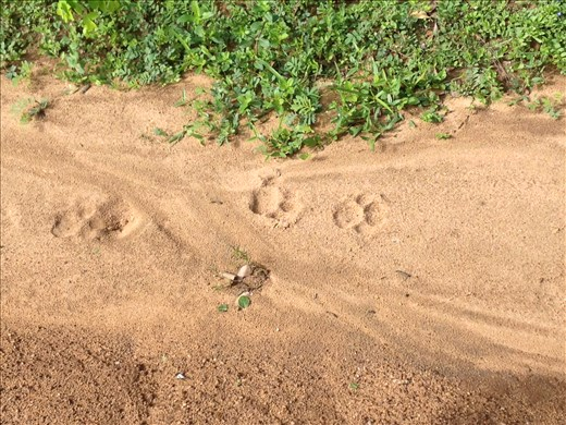 Yala National Park safari and hot on the trail of a leopard.
