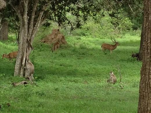 Safari monkeys and deer.
