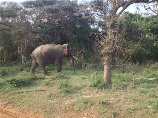 Wild elephants.