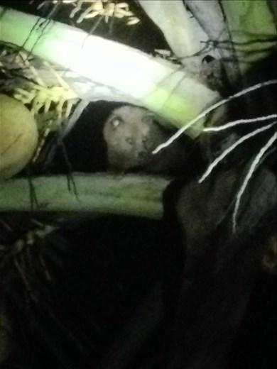 Palm civet.