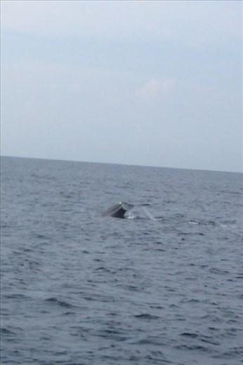 Blue whale watching in Mirissa