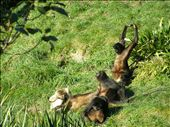 visiting the monkeys at Wellington zoo: by danielle_g, Views[145]