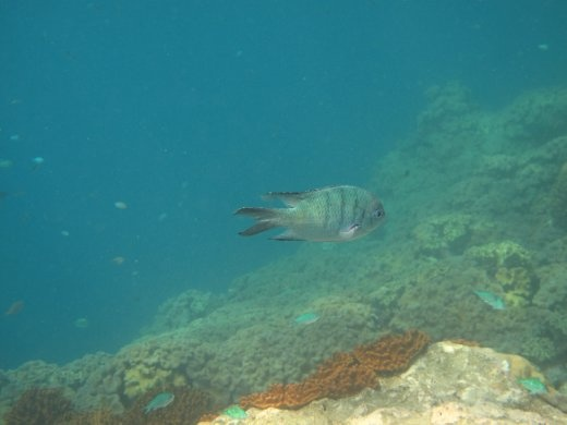 A fish swimming by off the Great Barrier Reef, Queensland, Australia.