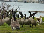 Playful Dog playing with the canadian geese: by danikagrovesshots, Views[152]