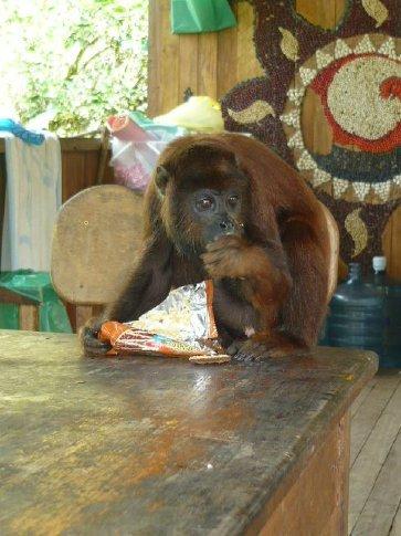 Paulo, the pet monkey