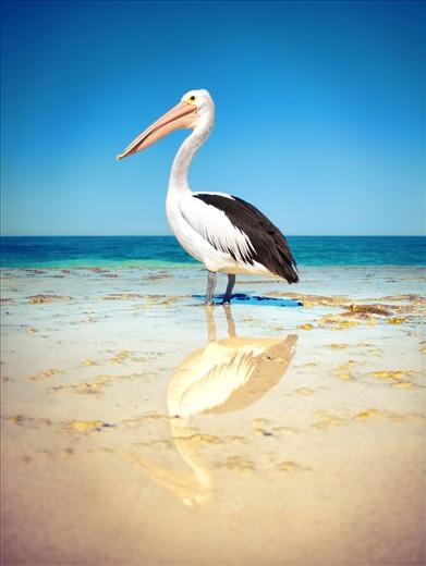 Wild Pelican, Yanchep Lagoom, Western Austraila