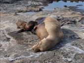 Sealion pup feeding: by dannygoesdiving, Views[126]