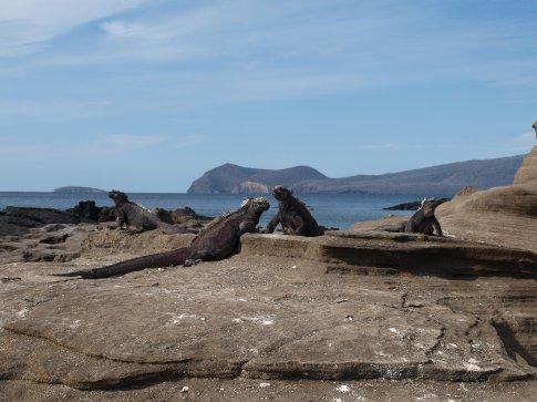 Sea Marine Iguanas