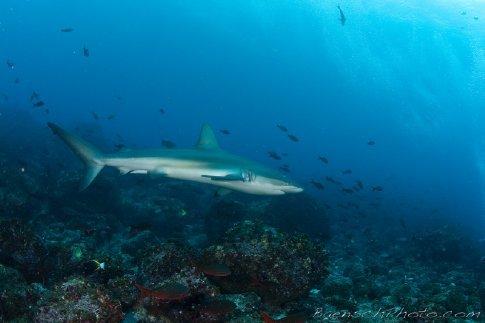 A lone Silky Shark