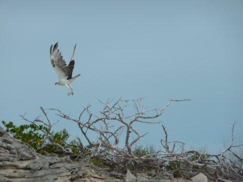Osprey (Pine Cay)