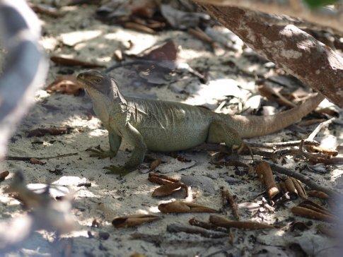 Iguana (half moon bay)