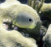 Foureyed Butterfly fish: by dannygoesdiving, Views[534]