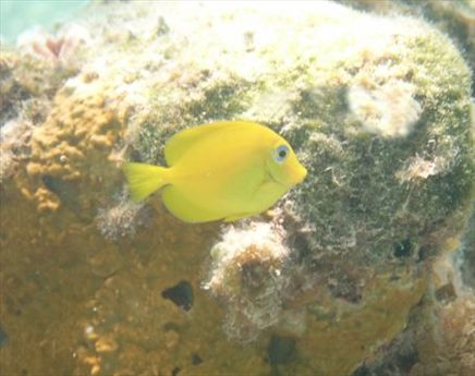 Juvenille 'blue tang' - yes, I know its yellow, its changes colour in adulthood.