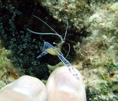 A Pederson cleaner shrimp working on my finger nails