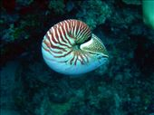 The Nautilus dive: by dannygoesdiving, Views[293]