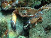 Sams Macro Wall: Crab: by dannygoesdiving, Views[158]