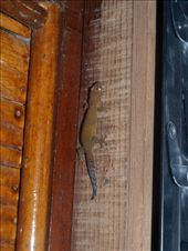 Animals & Critters of Yap: one of the many lodge geckos: by dannygoesdiving, Views[79]