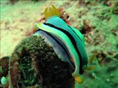 Slow and Easy: nudibranch: by dannygoesdiving, Views[281]
