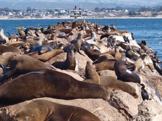 Monterey - Californian Sea Lions
